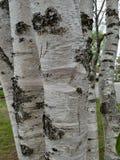 El tronco de árbol de abedul del horizonte del agua del lago de la playa de Sandy ramifica blanco Imagen de archivo