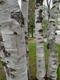 El tronco de árbol de abedul del horizonte del agua del lago de la playa de Sandy ramifica blanco Imágenes de archivo libres de regalías