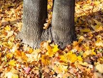 el tronco de árbol gemelo y las hojas de arce caidas se encendieron por el sol imagenes de archivo