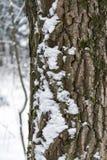 El tronco de un árbol cubierto con el primer de la nieve Imagen de archivo libre de regalías
