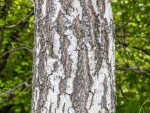 El tronco de un árbol de abedul en un verde empañó el fondo La corteza del abedul Fondo Textured Imagen de archivo