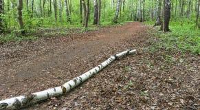 El tronco de un abedul en la pista Imágenes de archivo libres de regalías