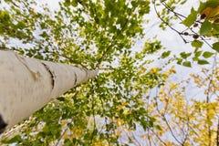 El tronco de un abedul La visión de abajo hacia arriba Otoño Fotos de archivo