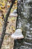 El tronco de un abedul viejo Imagen de archivo libre de regalías