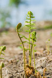 El tronco de un helecho joven verde Foto de archivo