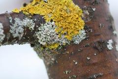El tronco de un manzano con el liquen hermoso Foto de archivo libre de regalías