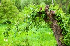 El tronco de un ?rbol viejo Nuevos jovenes, ramas del verde han crecido brillantemente hojas del verde foto de archivo libre de regalías
