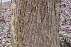 El tronco de un tilo viejo Imagen de archivo libre de regalías