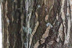 El tronco de una corteza de árbol conífero Foto de archivo libre de regalías