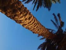El tronco de una palmera de la fecha de sus ramas en un fondo de la opinión de cielo azul de debajo Foto de archivo libre de regalías