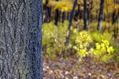 El tronco del árbol al fondo del bosque del otoño fotografía de archivo