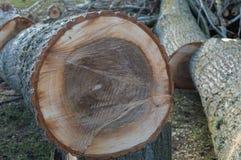 El tronco del árbol cortó en pedazos Foto de archivo libre de regalías