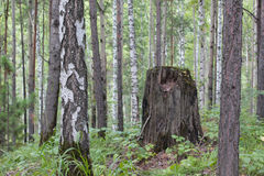 El tronco del abedul, del pino y del tocón secado Foto de archivo