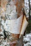 El tronco del abedul del primer con la corteza y el abedul socavan descensos en ella Fotos de archivo