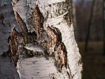 El tronco del primer del abedul blanco Fotografía de archivo libre de regalías