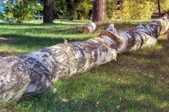 El tronco derribado de un abedul grande Imagen de archivo