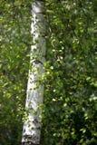 El tronco es un abedul blanco en la primavera Verdor joven Imágenes de archivo libres de regalías
