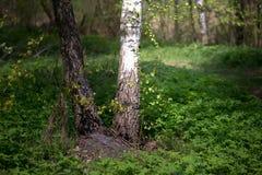 El tronco es un abedul blanco en la primavera Verdor joven Fotografía de archivo