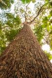 El tronco grande de un árbol en el más torest Fotos de archivo libres de regalías