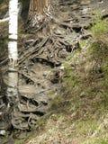 El tronco y las raíces del abedul y de otros árboles en el bosque Fotografía de archivo