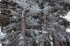 El tronco y las ramas de una picea de la nieve Fotografía de archivo