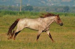 El trotar hermoso del caballo Fotos de archivo libres de regalías