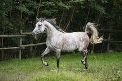 El trotar árabe del caballo Imagenes de archivo