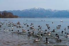 El trullo ducks la natación en laguna clara con el fondo de la escena de la montaña de la nieve en el lago Inawashiro, Fukushima, Fotos de archivo libres de regalías