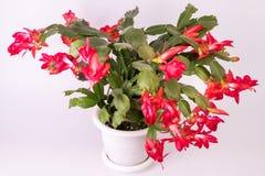 El truncata rojo del Schlumbergera florece en maceta, la Navidad y T foto de archivo