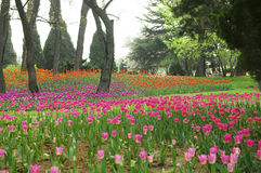 El tulipán Foto de archivo