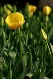 El tulipán Imagenes de archivo