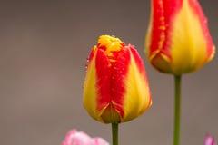 el tulipán Amarillo-rojo después de la lluvia con lluvia cae el primer Fotografía de archivo libre de regalías