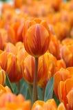 El tulipán anaranjado se destaca Fotos de archivo libres de regalías