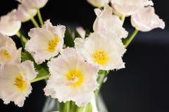 El tulipán blanco aleatoriamente dispuesto florece con el fondo oscuro Imagenes de archivo