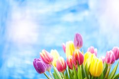 El tulipán colorido florece en un fondo azul con un espacio de la copia para un texto Top de la visión Fondo del cielo azul Tarje imagen de archivo
