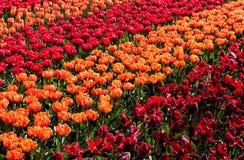 El tulipán colorido florece el fondo en fila Imagen de archivo libre de regalías