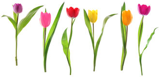 El tulipán del resorte florece en una fila aislada en blanco