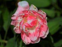 El tulipán elegante del rosa y blanco imágenes de archivo libres de regalías