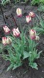 El tulipán es aterciopelado imágenes de archivo libres de regalías