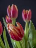 El tulipán es flores en el género Tulipa, Imagen de archivo