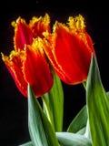 El tulipán es flores en el género Tulipa, Foto de archivo