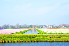 El tulipán floreciente coloca en el campo de Países Bajos Foto de archivo