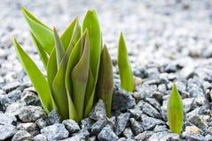 El tulipán hace su manera a través de la grava Foto de archivo