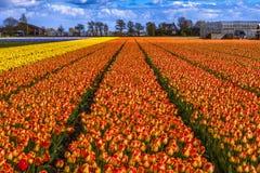 El tulipán hermoso coloca en Lisse en los Países Bajos Imagen de archivo
