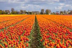 El tulipán hermoso coloca en Lisse en los Países Bajos Fotografía de archivo libre de regalías
