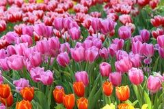 El tulipán hermoso florece el fondo Imagen de archivo