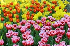 El tulipán hermoso florece el fondo Fotografía de archivo