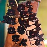 El tulipán negro floreciente florece el primer Fotos de archivo