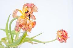 El tulip?n resecado muestra ojeadas de la belleza anterior fotografía de archivo libre de regalías