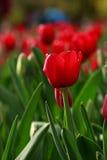 El tulipán rojo Imagen de archivo libre de regalías
